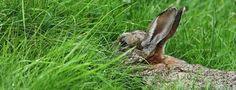 Vleeskonijn rassen Voorbeelden hiervan zijn; • Witte Nieuw Zeelander (tip) • Belgische haas • Britse reus • Champagne d'Argents (tip) • Cinnamons • Satins • Silver Fox • Crème d'Argents  Witte Nieuw Zeelanders variëren van vier tot  zes kilo, en hebben nesten tot 10 konijntjes.   De Champagne d'Argents is het traditionele ras voor vlees. Het is wat groter met een gewicht van 5 tot 7.5 kilo per stuk en heeft grote nesten bestaan uit acht tot 10 konijntjes.