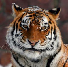 Кис-кис!!!. Всем чтоб было  мур-мур!! #2010 #тигр Автор: Макс Шамота