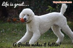 LIFE IS GREAT A POODLE MAKES IT BETTER!!!
