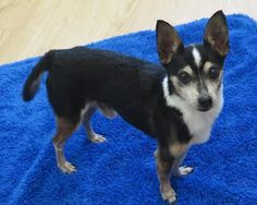 Tippy is an adoptable Toy Fox Terrier searching for a forever family near High…