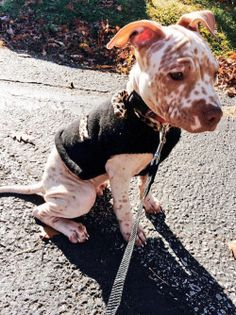 Tyson the hairless Pitbull. Cute Puppies, Cute Dogs, Dogs And Puppies, Doggies, Pit Bulls, Dog Breed Names, Dog Breeds, Baby Animals, Cute Animals