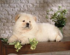 chow chows are fluffy and get quit big