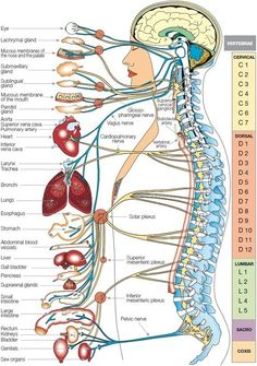 Detalle de la imagen de -Vitality Chiropractic - Geoff Huls - Journey to Health Well-Being Human Body Organs, Human Body Systems, Human Body Parts, Human Body Nervous System, Nervous System Parts, Nervous System Anatomy, Central Nervous System, Cupping Therapy, Massage Therapy