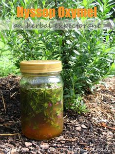 Hyssop is a great herbal expectorant. Here's a recipe for hyssop oxymel (which is like a cough syrup with honey and vinegar) to take care of chest congestion and stubborn coughs. via http://newlifeonahomestead.com