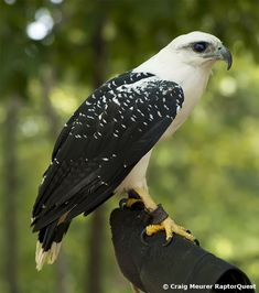 White Hawk - Raptor Quest: Conservation and Photography of hawks, eagles, owls, kites and vultures