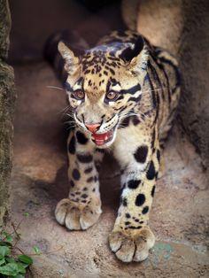 Tarak-An 8-month old male Clouded Leopard