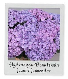 New Arrival | Holex Insights newsletter week 28 | Hydrangea Beautensia Luxor Lavender | www.holex.com