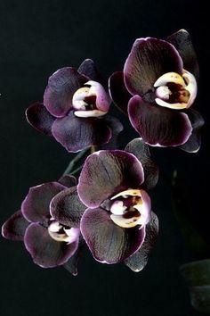 costaazzurra: Orchidea Nera ...