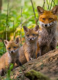 Red Fox with two Cubs