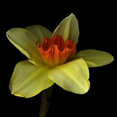 Фотография I FLY SOLO...A Daffodil. автор Magda Indigo на 500px