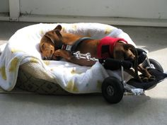 Differently-abled dogs get tuckered out just like other dogs