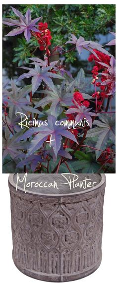 5 'KEEP IT SIMPLE' CONTAINER GARDEN COMBOS  #1 - Castor Bean + Moroccan Planter.     Container gardening ideas, garden design.
