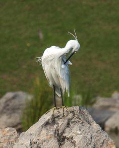 2013 Photograph, Little Egret (Egretta garzetta) Preening, King Rama IX Royal Park, Prawet, Bangkok, Thailand, © 2013.  ภาพถ่าย ๒๕๕๖ นกยางเปีย ได้ สวนหลวง ร.๙ เขตประเวศ กรุงเทพ ประเทศไทย