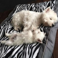 There's something so appealing about sleeping puppies. (by emma_the_westie) Westies, Westie Puppies, Cute Puppies, Dogs And Puppies, Doggies, Chihuahua Dogs, Puppy Care, Pet Puppy, Dog Cat