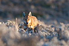 Ethiopian Wolf, female, Keyrensa Valley, Ethiopia