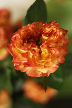 New Varieties of Roses - For My Friends In Chicago Rose Varieties, Rose Pictures, Beautiful Gardens, Bouquets, Roses, Pretty, Flowers, Plants, Fire
