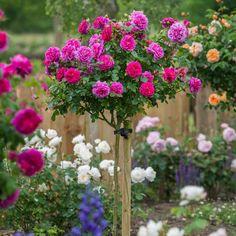 Потрясающей красоты английские розы Дэвида Остина. Обсуждение на LiveInternet - Российский Сервис Онлайн-Дневников