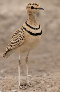 Two-banded Courser (by Rainbirder) Africa