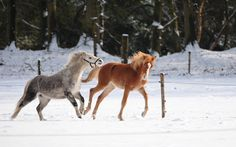 White Horses in the Snow | White horses in the snow