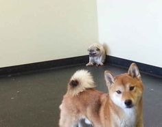 This pug who failed to make friends and this shibe who failed to be nice to the new kid. | 31 Biggest Dog Fails Of 2013