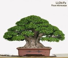 Philipe David uploaded this image to 'Bonsai'. See the album on Photobucket. Indoor Bonsai Tree, Bonsai Art, Bonsai Garden, Bonsai Trees, Ikebana, Ficus Microcarpa, Art Of Living, Indoor Outdoor, Home And Garden