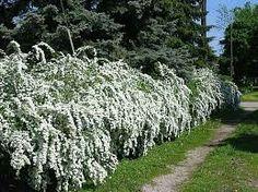 Bridal wreath spires hedge for backyard