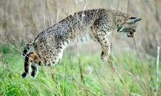Scottish lynx