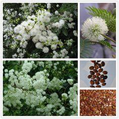 (20 semi/bag) sliver semi di mimosa acacia baileyana bianco canniccio albero seme di fiore bonsai leucaena glauca pianta per la casa e giardino
