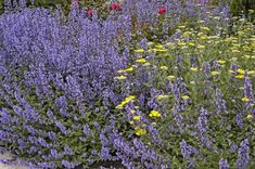 Walker's Low catmint named perennial of year (12-28-2006)