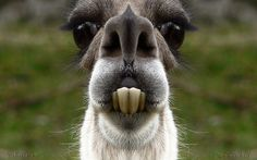 Cutest llama I ever did see!