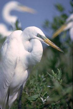 Beautiful white heron!