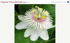 ON SALE Passion Vine Plant  Passiflora caerulea  by bulbsnblooms