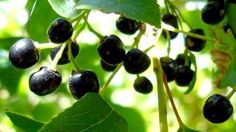 Maqui Berry Powder is Antioxidant & Anthocyanin rich from Fresh Organic Wild Maqui Berries. This deep purple berry puts all others to shame nutritionally. Healthy Nutrition, Nutrition Tips, Healthy Foods, Healthy Eating, Superfoods, Hemp Protein Powder, Antioxidant Supplements, Body Cells, Freeze Drying