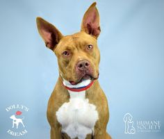 My owner went to serve our country in the military and I wasnt allowed to go so now I have to find a new family to love. Could it be you?  My name is Betty (ID 570709) and Im a 2-year-old American Staffordshire terrier mix who is Im a fun-loving gal. I like kids and I previously would follow the 2-year-old around. I also lived with another smaller dog and we got along great. Im potty-trained and hope you will give me the forever home I so desperately want. Im very sweet and like to give…