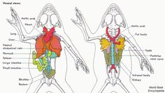 Internal organs of the frog Stem Science, Life Science, Animal Classification, Medical Laboratory Science, Muscular System, Animal Science, Zoology, Creature Design, Reptiles