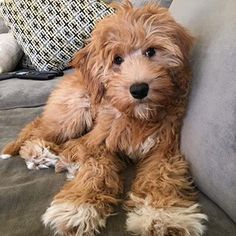Yorkshire Terrier – Energetic and Affectionate Mini Doodle, Doodle Dog, Puppies And Kitties, Cute Puppies, Doggies, Yorkie Puppies, Goldendoodle Full Grown, Goldendoodle Miniature, Goldendoodle Grooming