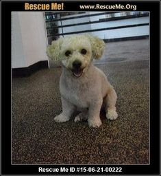 Bichon Frise Mix  Age: Young Adult  Compatibility:Good w/ Most Dogs, Good w/ Most Cats, Good w/ Kids and Adults Personality:Average Energy, Average Temperament Health:Neutered, Vaccinations Current  PJ is about 2 years old. He was found running through traffic. Sadly after weeks of searching signs posted through the neighborhood extensive online posts etc no one claimed him. We believe he is a poodle bichon mix.  562 741 7056