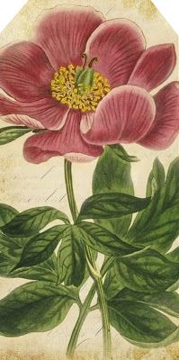 - I absolutely love botanical illustrations! They can be used in so many ways for art projects. Today I have added some 60 of my favorite vintage Botanical Plates. Art Vintage, Vintage Botanical Prints, Botanical Drawings, Vintage Kids, Botanical Flowers, Botanical Art, Peony Flower, Flower Art, Vintage Printable