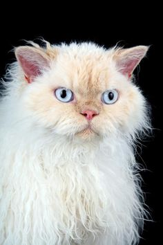 The Selkirk Rex comes in both short and long coats. The fur is plush and curly, although some kittens do have straight hair rather than curls. This breed is noted for its patient and affectionate nature. Selkirk Rex Kittens, Different Breeds Of Cats, Animals And Pets, Cute Animals, Rex Cat, Cat Breeds, Crazy Cats, Cool Cats, Cute Kittens
