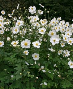 This popular and highly sought-after Japanese anemone gives a fantastic autumn display of pure white flowers. A vigorous branching perennial with robust foliage of deeply-divided, slightly-bristled, dark-green leaves it will do best in full sun or part Herbaceous Border, Herbaceous Perennials, Flowers Perennials, Planting Flowers, Flowers Garden, Exotic Flowers, White Flowers, Beautiful Flowers, Yellow Roses