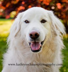Jeremy in CT - new! is an adoptable Great Pyrenees Dog in Old Lyme, CT. Full listing and online application at.... www.nationalpyr.org/rescue-dogs (sorry, no phone submissions). Secure VISIBLE fenci...