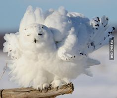 Post with 0 votes and 621 views. Fluffiest owl I've ever seen- Photo: Mike Norkum, Creative Commons Beautiful Owl, Animals Beautiful, Owl Bird, Pet Birds, Animals And Pets, Cute Animals, Owl Feather, Owl Pictures, Snowy Owl