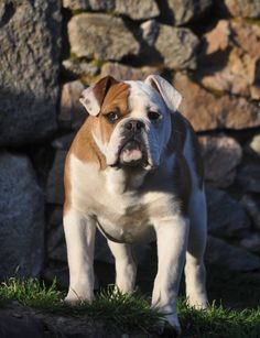 AP Hoover at BlueDogCity France   Continental Bulldog Male, on Pic 6 Month old  www.asgards-pride.com