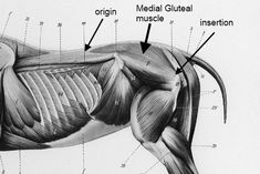 Deeper equine hind end muscles