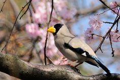 Cherry Blossom ! , Japanese Grosbeak by Mubi.A