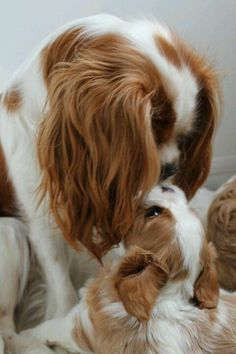 Everything we all respect about the Cavalier King Charles Spaniel Dogs King Charles Puppy, Cavalier King Charles Dog, Cute Dogs And Puppies, Baby Dogs, Doggies, Puppies Puppies, Cavalier King Spaniel, Spaniel Puppies, Cocker Spaniel