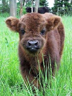 Cute Baby Cow, Baby Animals Super Cute, Cute Cows, Cute Little Animals, Cute Funny Animals, Baby Farm Animals, Baby Cows, Happy Animals, Baby Elephants