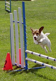 Jack Russell terrier — Wikipédia                                                                                                                                                                                 Plus