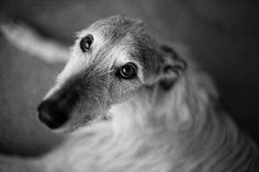 Lurcher deerhound x greyhound. Breathtaking eyes, only hounds can look this way. Greyhound Breed, Greyhounds, Beautiful Dogs, Animals Beautiful, I Love Dogs, Cute Dogs, Animals And Pets, Cute Animals, Hounds Of Love
