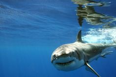 It is number 2 on my bucket list to go cage diving with white sharks in south Africa. I'll make this happen.